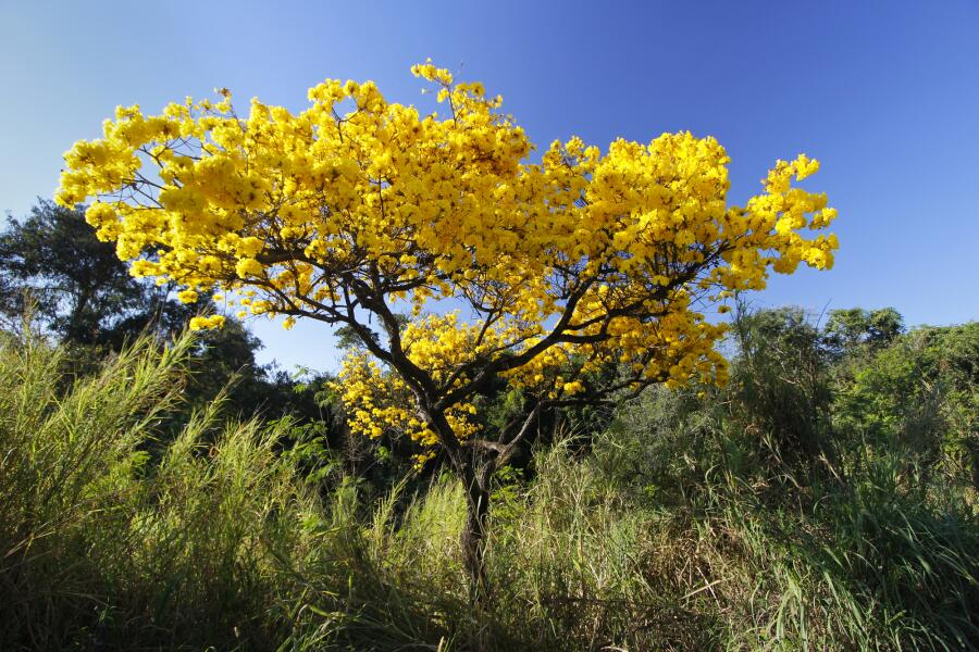 Цветущая табебуйя