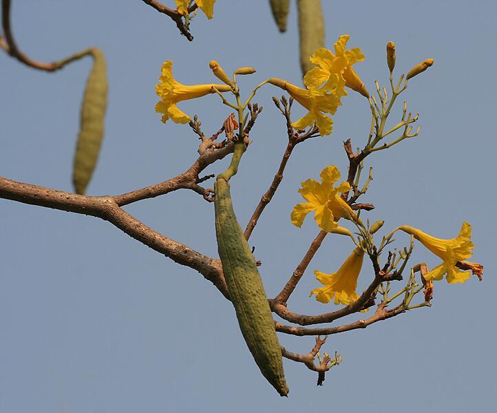 Цвет и плоды табебуйи