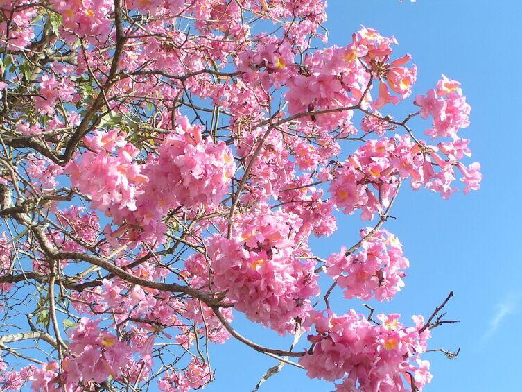 Розовое ипе (Tabebuia impetiginosa)
