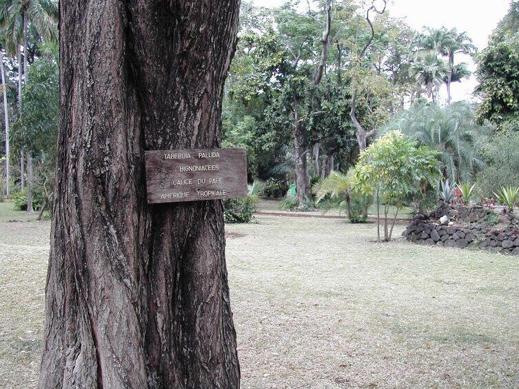 Ствол Tabebuia pallida