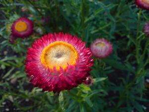 Какие сухоцветы легко вырастить на своем участке?