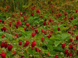 Какие почвопокровные растения можно  посадить в саду?