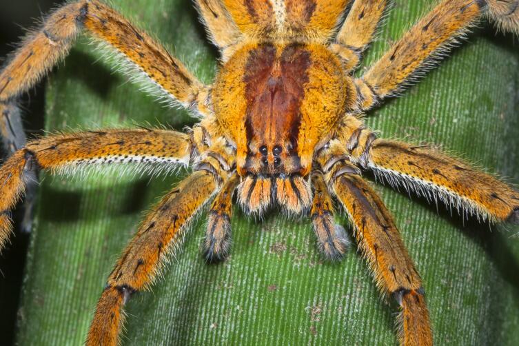 Бразильский странствующий (банановый) паук