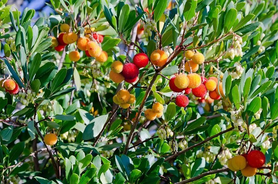 Спелые плоды на земляничном дереве