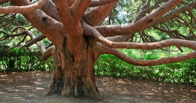 Почему арбутус - дерево-шептун?