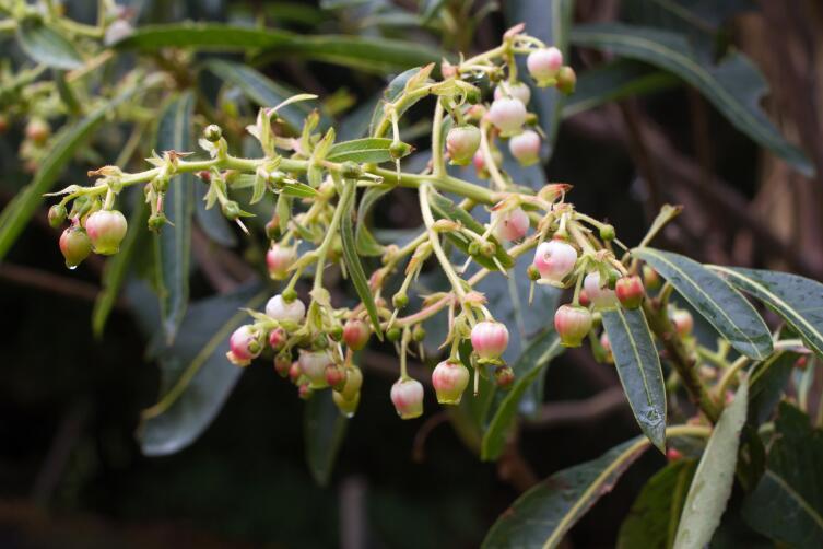 Цветы земляничного дерева