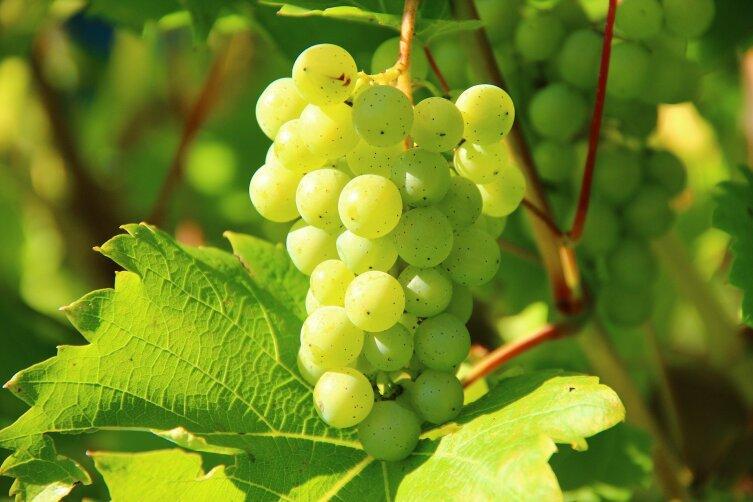 Виноград на даче. Как южным растениям дать шанс выжить ближе к северу?