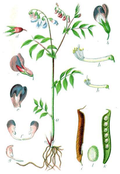 Чина весенняя. Ботаническая иллюстрация Якоба Штурма из книги Deutschlands Flora in Abbildungen, 1796 г.