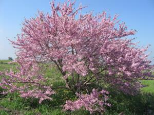 Что за дерево багрянник европейский и его японский тёзка?