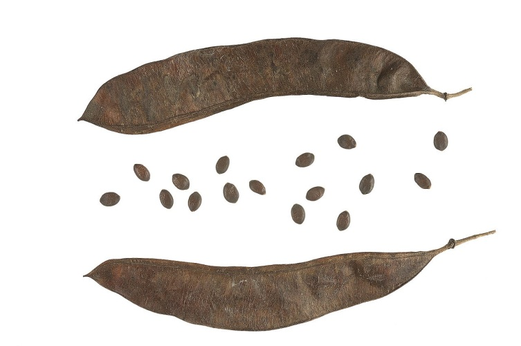 Стручки и семена церциса