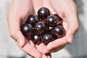 Что за растение бразильский виноград – жаботикаба?
