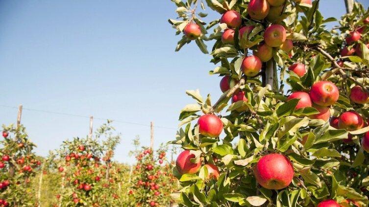 На что обратить внимание при выращивании колоновидной яблони?