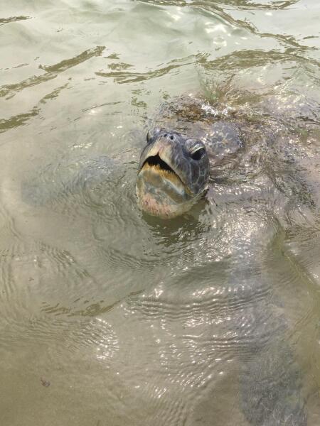 Типичная черепаха Тортилла. Цейлон