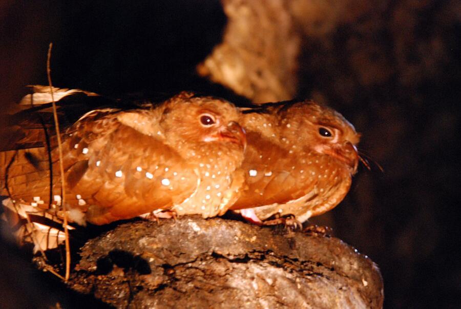 Какие птицы живут в вечной темноте?