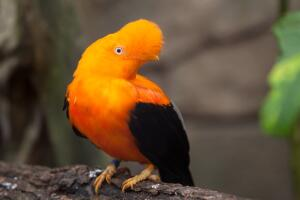 Где живет «апельсиновая ворона»?