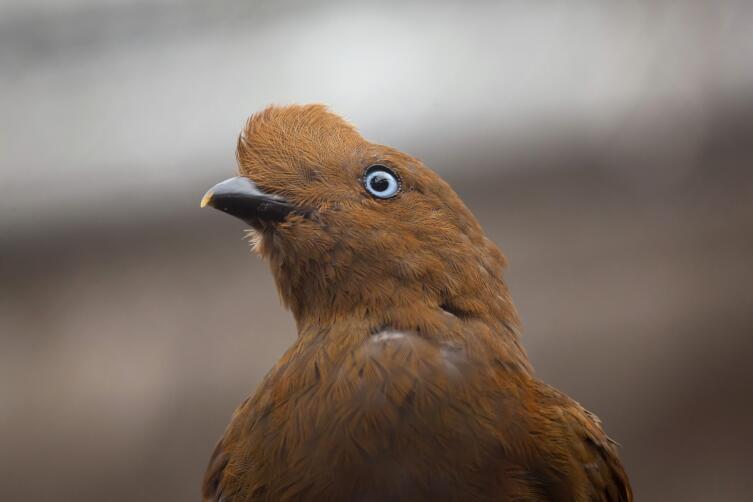 Самочки и «молодежь» выглядят почти невзрачно: маленький гребешок, коричневый наряд