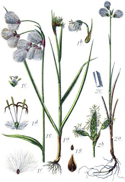 Пушица широколистная (1) и Пушица стройная (2). Ботаническая иллюстрация Якоба Штурма из книги Deutschlands Flora in Abbildungen, 1796 г.