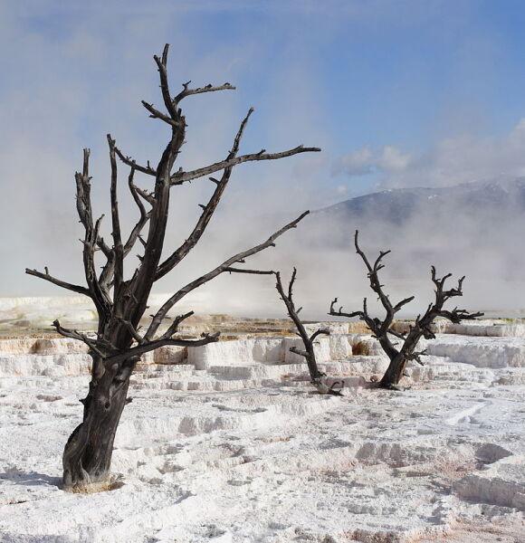 Мёртвые деревья на термальных источниках Йеллоустоуна