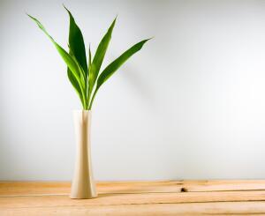 Бамбук счастья, который вовсе и не бамбук...
