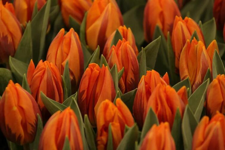 Как продлить цветение тюльпанов в вазе?