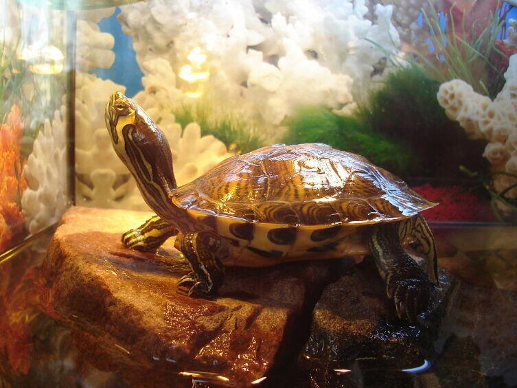 Как содержать экзотическое животное в домашних условиях? Красноухая черепаха