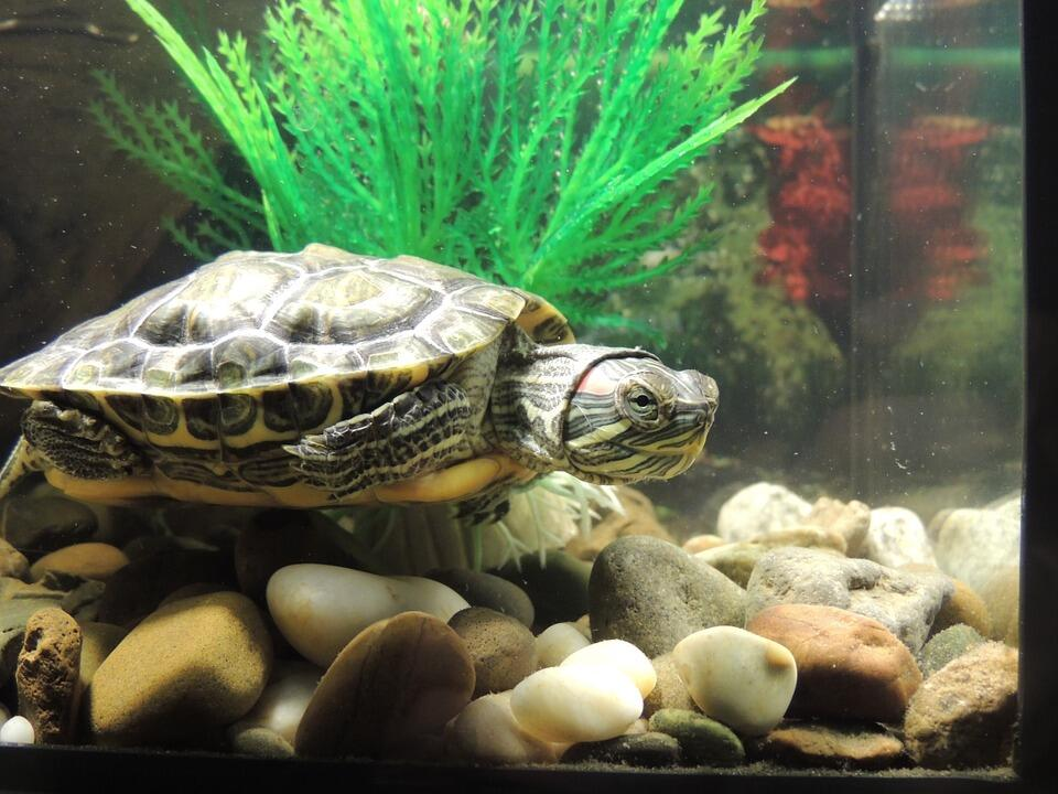 водяная черепаха в домашних условиях фото каркасах