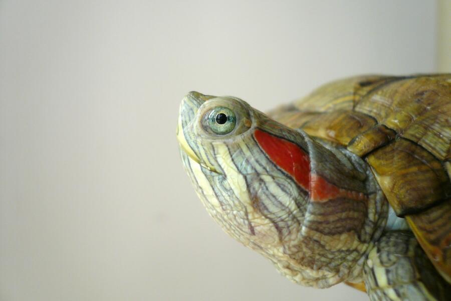 Какие витаминные и минеральные добавки давать красноухим черепахам?
