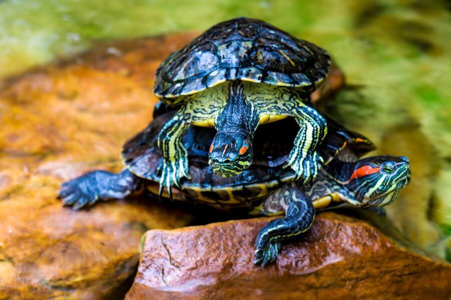 Где и как правильно кормить красноухих черепах?