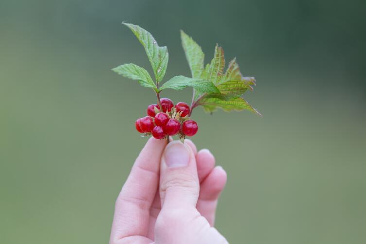 Что можно приготовить из  ягод костяники?