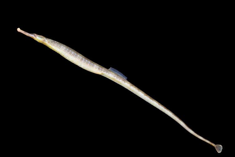 Обыкновенная рыба-игла (Syngnathus acus)