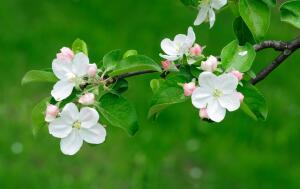 Что такое стелющиеся сады и как их вырастить?