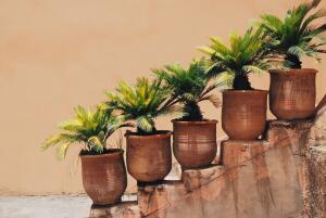 Как вырастить на даче финиковую пальму?