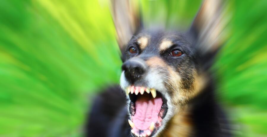 ОБЖ горожанина: как вести себя при встрече с агрессивно настроенными собаками?