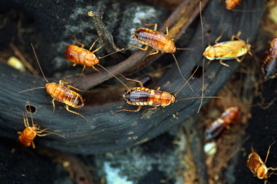Туркменские тараканы (Blatta lateralis)