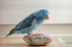Как научить попугая разговаривать?