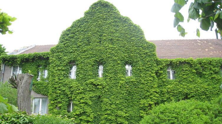 Здание водолечебницы, увитое японской лианой
