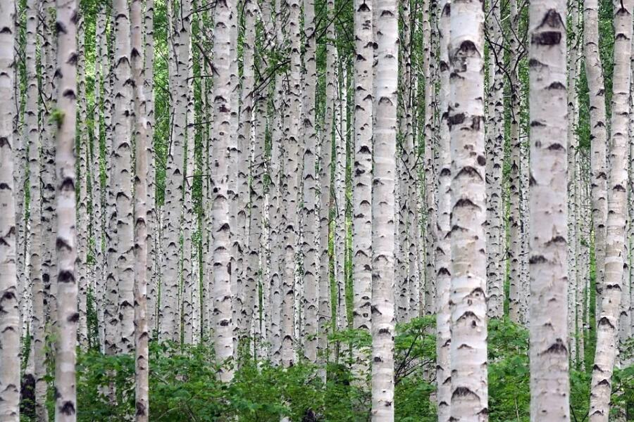 Как использовать листья березы для решения проблем со здоровьем?