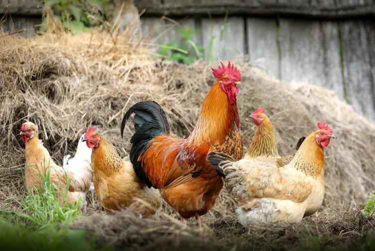 Петух с курицами