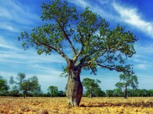 Чем интересна сейба — мифическое дерево майя?