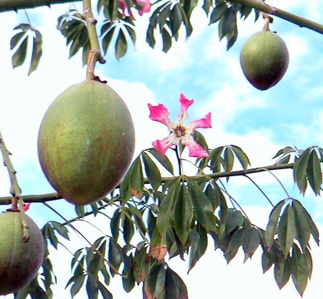 Плоды сейбы