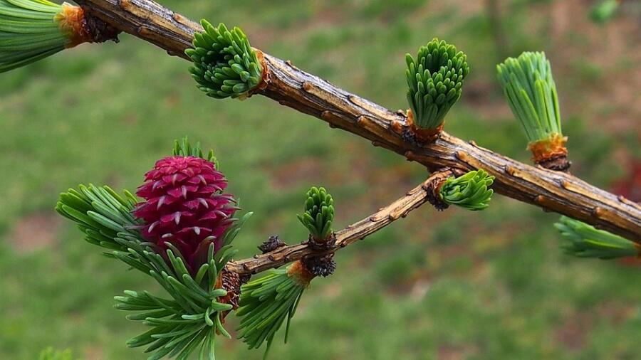 Веточка лиственницы весной