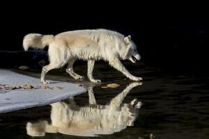 Каких волков называют морскими?