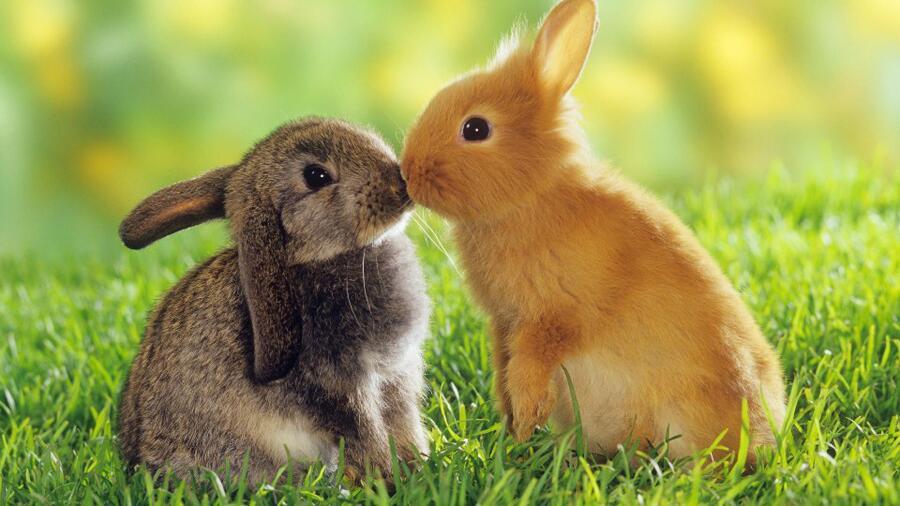 Как разводить кроликов?