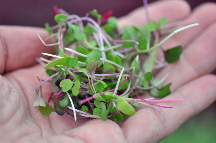 Что такое микрозелень и с чем её едят?