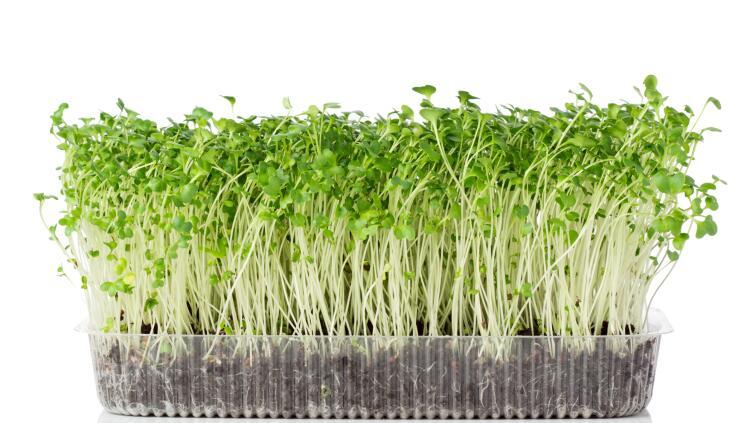 Как выращивать микрозелень в домашних условиях?