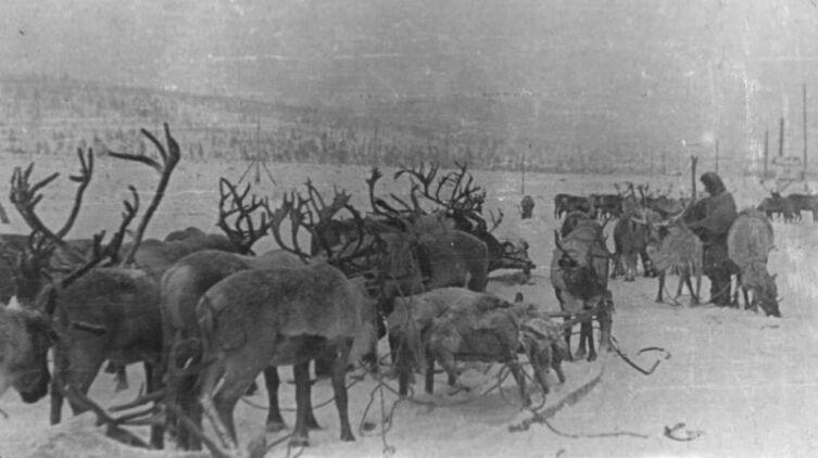 Прибывшие из тундры олени перед отправкой на фронт
