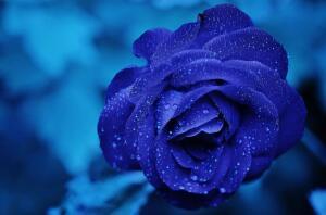 Чем болеют розы?
