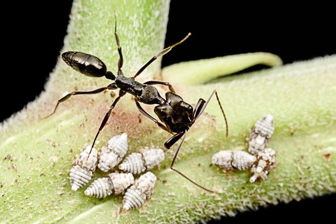 Лошадиноголовый муравей