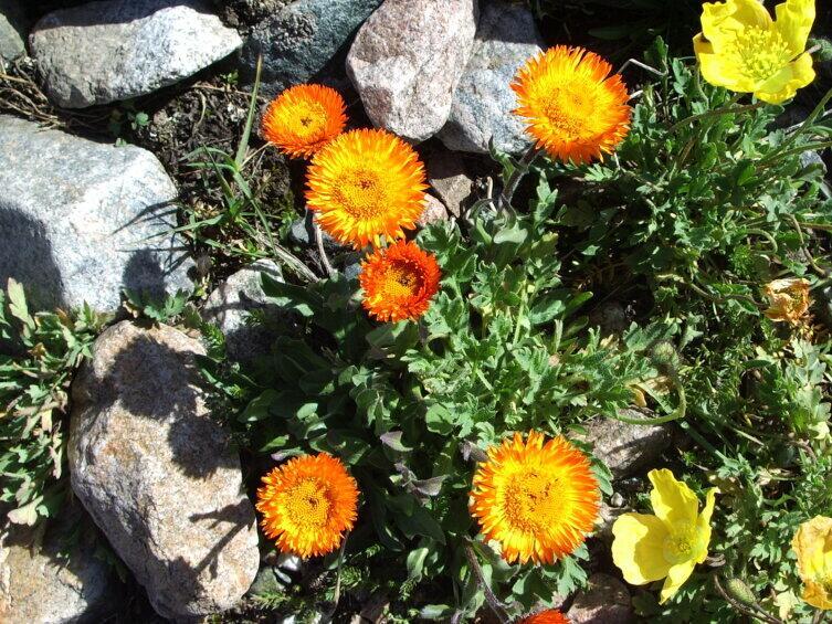 Цветы с горных склонов хорошо приживаются в саду