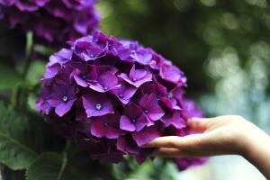 Как заботиться о гортензии весной?